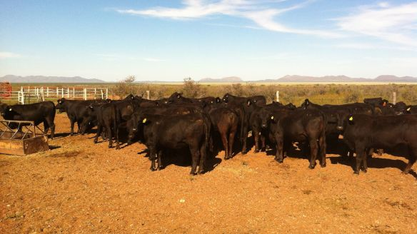 vaquillas registradas rancho tarahumar, buenaventura, chihuahua