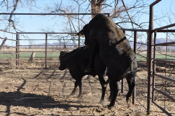 Mainstay 468Y39 17 meses edad, Rancho el Tarahumar