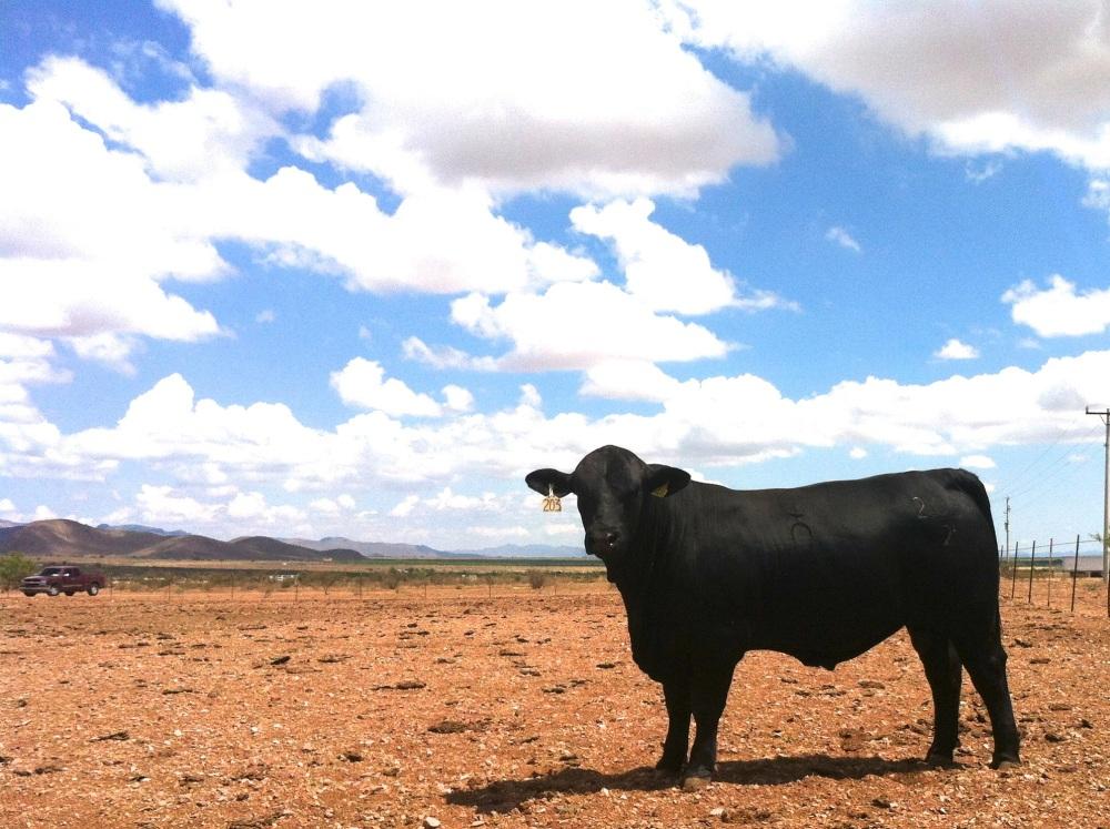 Toro brangus negro rancho tarahumar 203/2, 16 meses
