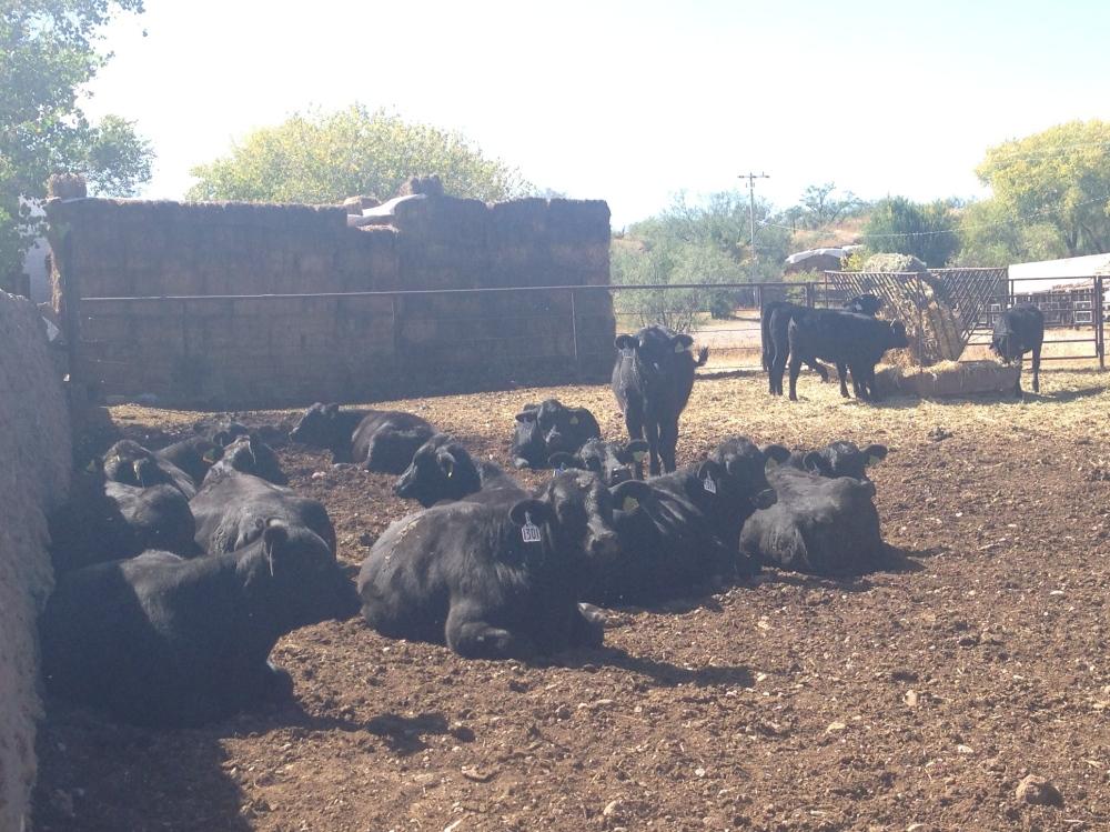foto lote 15 becerras registradas rancho el tarahumar