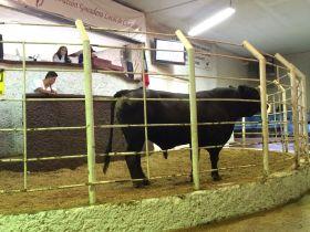Los toros viejos con precios históricos también...