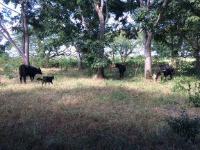 Primeros dias en el Congreso Mundial Brangus en merida y visitando rancho WAKAX en los alrededores de Tizimin