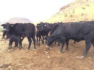 suplementando las vacas paridas con block de proteina