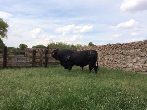 toro 628Z3, 3 años edad,  rancho el tarahumar