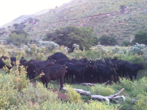 vaquillas brangus demostrando celo, rancho el tarahumar
