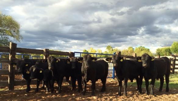 toretes de 9 meses rancho el tarahumar