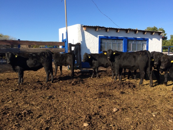 lote becerras de registro brangus rancho el tarahumar, 8 meses edad