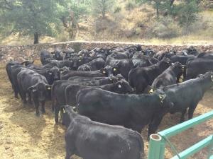 becerras y vaquillas jóvenes brangus , rancho el tarahumar