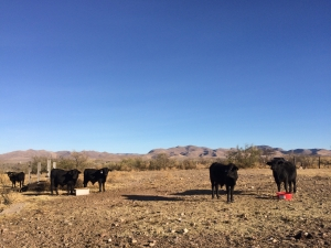 toretes en el potrero, rancho el tarahumar brangus, buenaventura, chihuahua