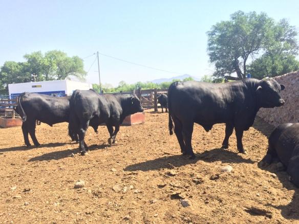 Toros brangus negro rancho el tarahumar