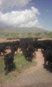 arreando vacas